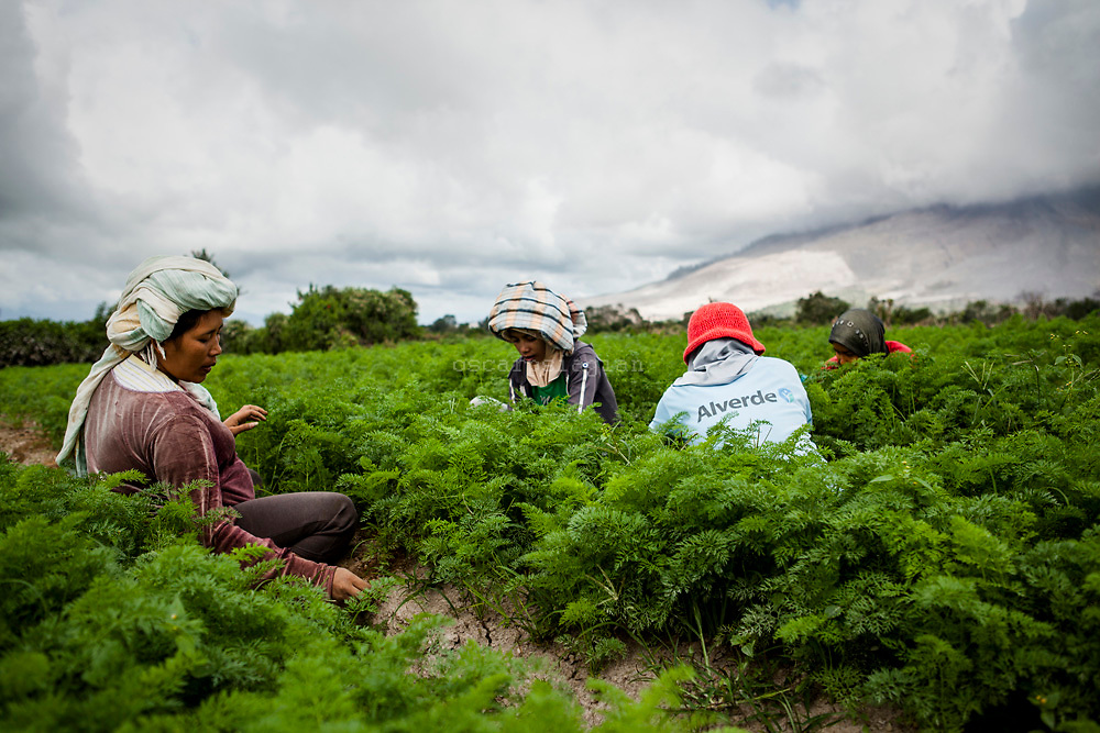 A group of  woman try to clean her carrot plant  at Karo District,  North Sumatera Province, Indonesia  on July 10, 2015