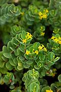 Akia, Wikstroemia uva-ursi, Maui Nui Botanical Gardens, Kahului, Maui, Hawaii