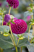 Pink Dahlia flowers,  Moor Place variety, growing in an Irish garden