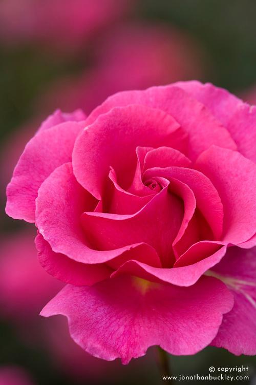 Rosa 'Princess Alexandra'