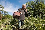 Venezia - Isola di Sant'Erasmo. Gastone Vio raccoglie le castraure<br /> Venice - Sant' Erasmo island. Gastone Vio farmer.