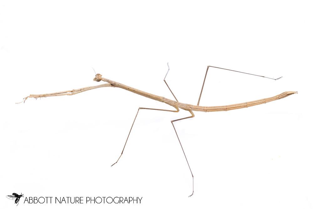 Grass-like Mantid (Thesprotia graminis) - female<br /> TEXAS: Montgomery Co.<br /> Montgomery<br /> 6-Nov-2012<br /> J.C. Abbott &amp; K.K. Abbott