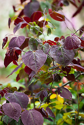 The foliage of Cercis canadensis 'Forest Pansy' - Redbud