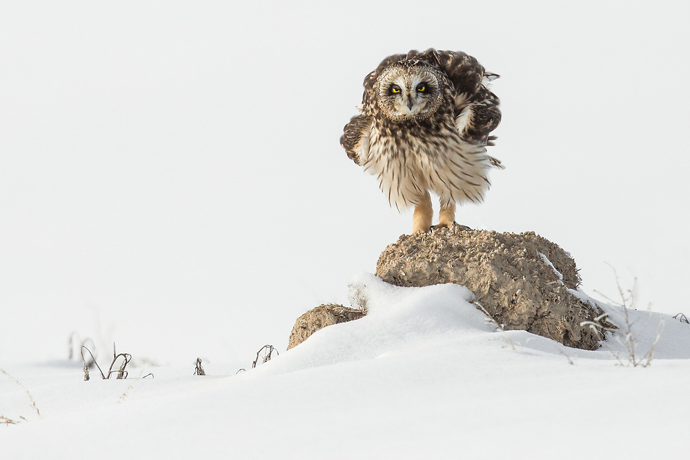 After devouring a vole that was hiding under the snow, a short-eared owl prepares for a nap atop a mound of roots and dirt surrounding his hunting meadow.