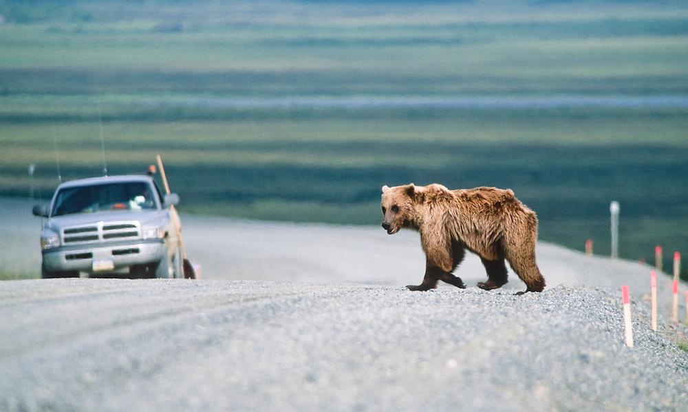 Alaska. Haul Road brown bear and truck.