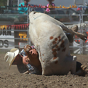 Warren Nichol from Omakau in action during the Open Steer Wrestling competition at the Wanaka Rodeo. Wanaka, South Island, New Zealand. 2nd January 2012