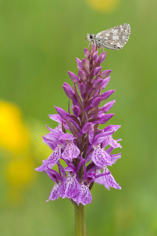 Orchid in bloom standing in grass with little moth on top