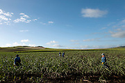 Mauritius. Workers on sugar cane field.