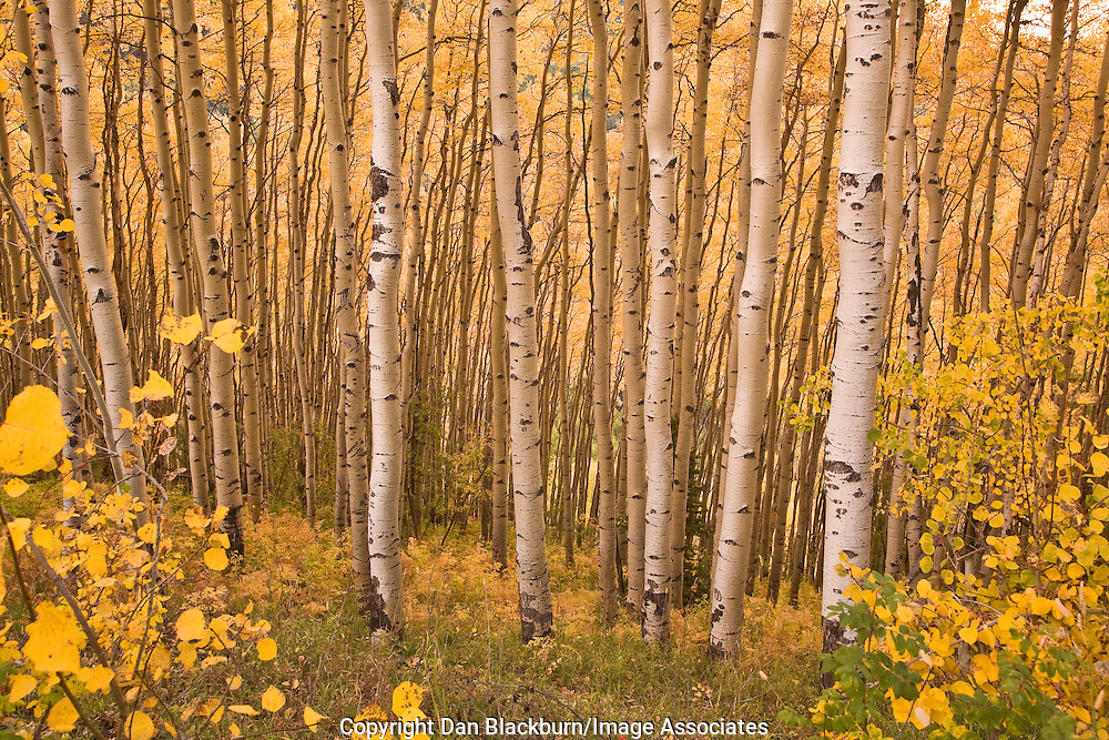 Inside an aspen grove, the bright fall colors of the aspen trees gleam in the Cimarron Range of Colorado.