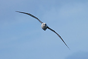 Shy Albatross, Stewart Island, New Zealand