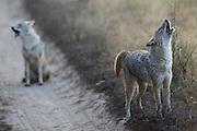 Jackals making their territorial calls in Kanha National Park, India