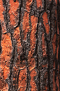 The burnt bark of a pine tree after a fire