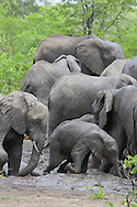 A group of African elephants in a muddy watering hole, South Africa