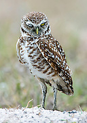 A Burrowing Owl, Athene cunicularia blinks near its burrow in the city of Boca Raton, Florida, United States.