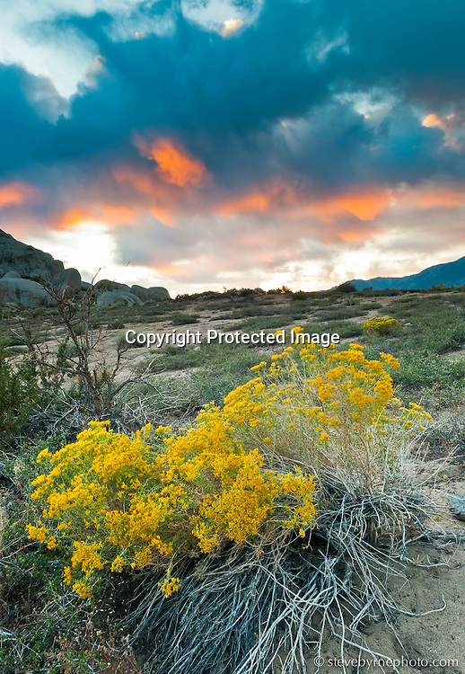 Dawn light ignites the bases of morning clouds above blooming sage.  Buttermilk Country, Bishop, California.