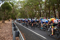 The peloton head into the woodland on Stage 1 of 2020 Santos Women's Tour Down Under, a 116.3 km road race from Hahndorf to Macclesfield, Australia on January 16, 2020. Photo by Sean Robinson/velofocus.com