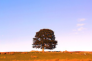 Tree and stone wall in middle of field. Golden hour light and blue sky. Near Rogart, Scotland, UK.