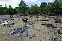 Mangrove rehabilitation area, Dudepo, Bolmong Selatan, Sulawesi, Indonesia.