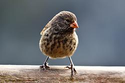 Female Small Ground-Finch (Geospiza fuliginosa), Galapagos Islands National Park, Santa Cruz Island, Galapagos, Ecuador