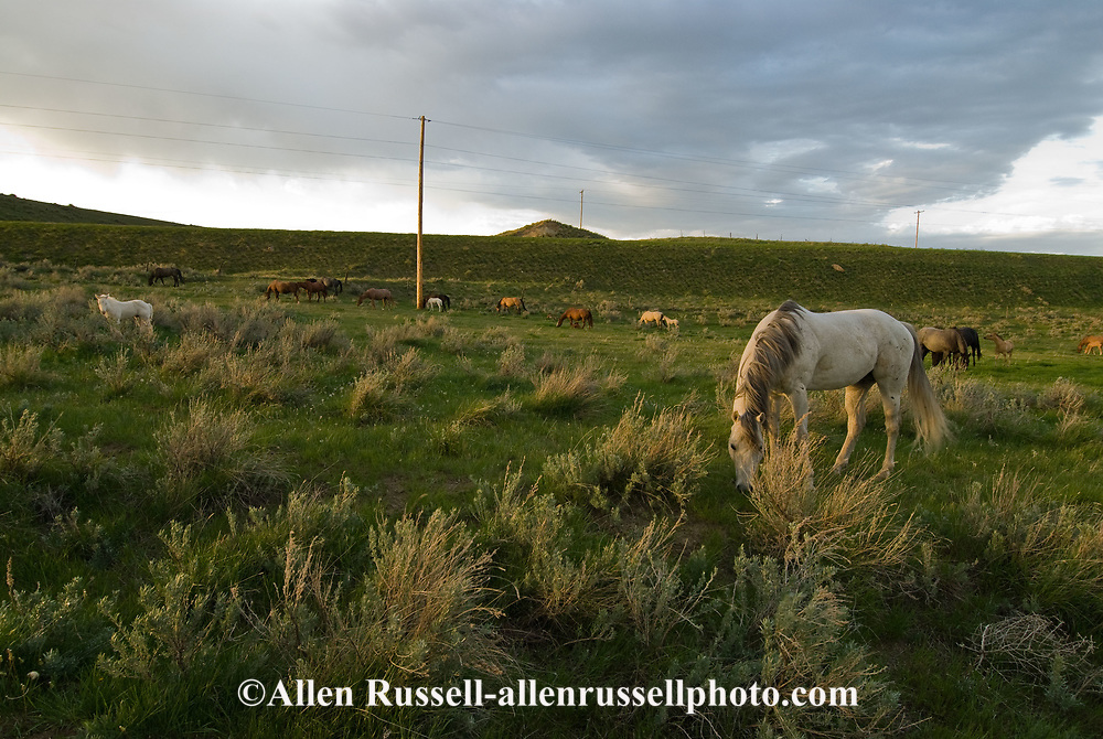 Quarter Horses, Stallion with mares and foals, natural breeding, pasture breeding