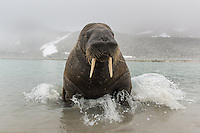 Without warning the mood changed and the heavy animal came charging up on the beach. From the west coast of Svalbard.