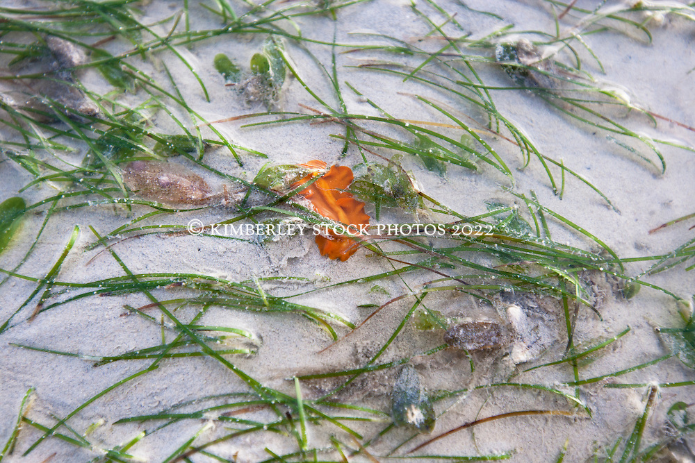 Polychaete flat worm amongst the seagrass at Town Beach in Roebuck Bay.