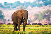 African elephant bull feeding on an island in the Chobe River as a herd of Cape buffalo pass in the background, Chobe River, Kasane, Botswana.