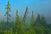 Morning fog and the boreal forest<br />Latulipe<br />Quebec<br />Canada