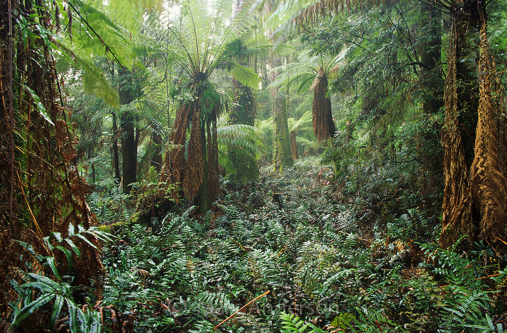 Tree ferns in a temperate rainforest, Milkshake Hills Forest, Tasmania.