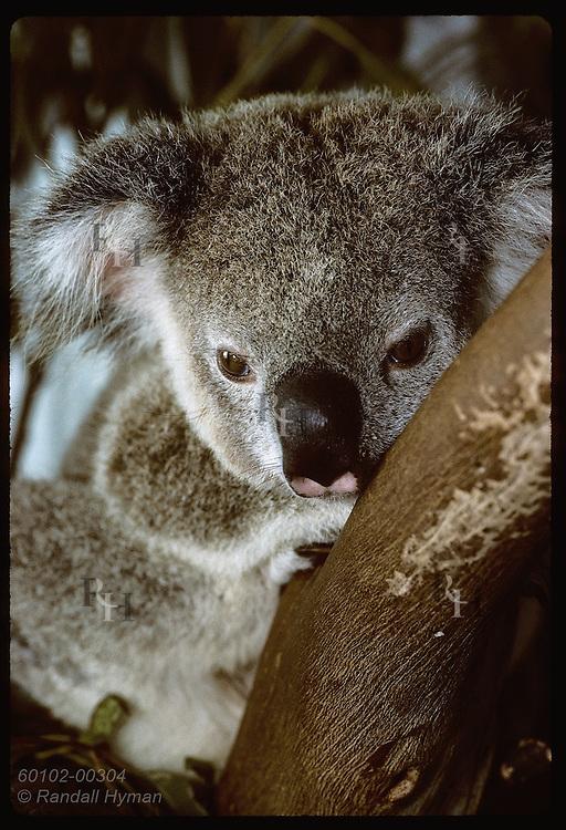 Orphaned 9-month-old koala nestles in fork of tree in his cage at Eprapah rehab center;(v)Brisbane Australia