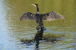 ©Licensed to London News Pictures 10/10/2019.<br /> Sidcup,UK.An adult black Cormorant is seen with wings outstretched drying in the morning air while standing on a rock. A cold autumnal October morning at Footscray Meadows on the River Cray, Sidcup, South East London. Photo credit: Grant Falvey/LNP