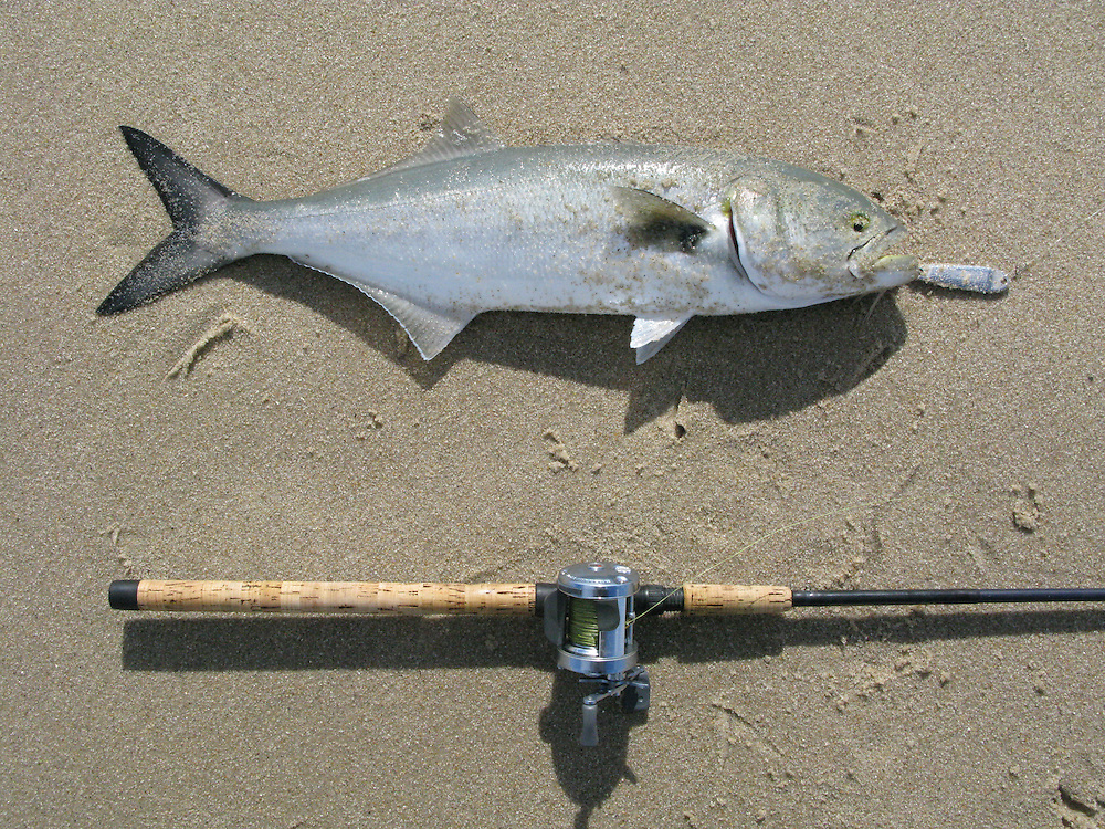 Bluefish caught on a hopkins metal lure michael j for Surf fishing nj
