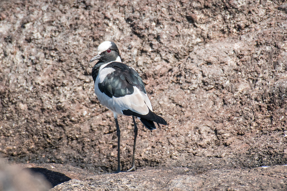 Blacksmith lapwing (Vanellus armatus) stands on top of dirt and rock, Chobe National Park - Botswana