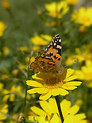 Painted lady butterfly. View of a painted lady butterfly (Vanessa cardui) feeding on flowers. This butterfly is found throughout the world, except in South America, thanks to its powerful migratory urge. It lives mainly in open spaces such as fields and meadows, and is commonly seen in gardens and parks in built-up areas. Their migrations are famous: every year painted ladies cross the Mediterranean Sea from Africa to Europe in order to breed, sometimes arriving in enormous numbers. Photographed in Israel In December