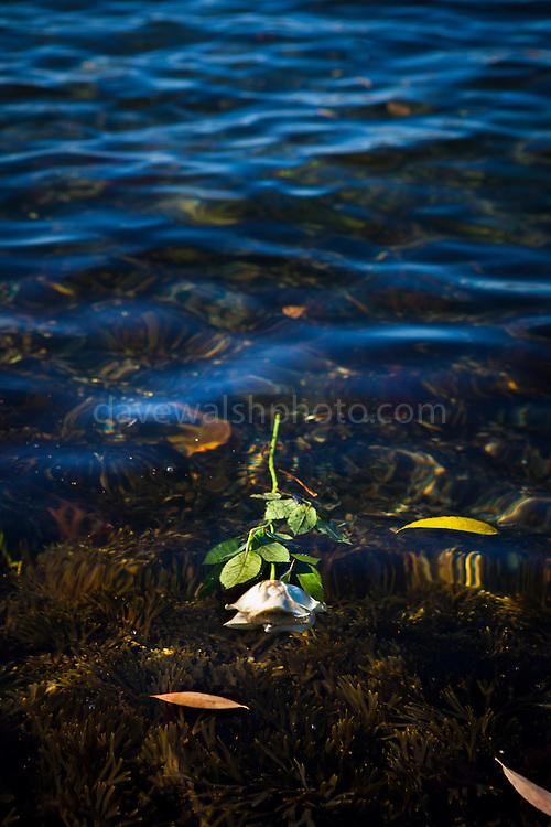 White Rose, floating in Oslofjord, Oslo, Norway.