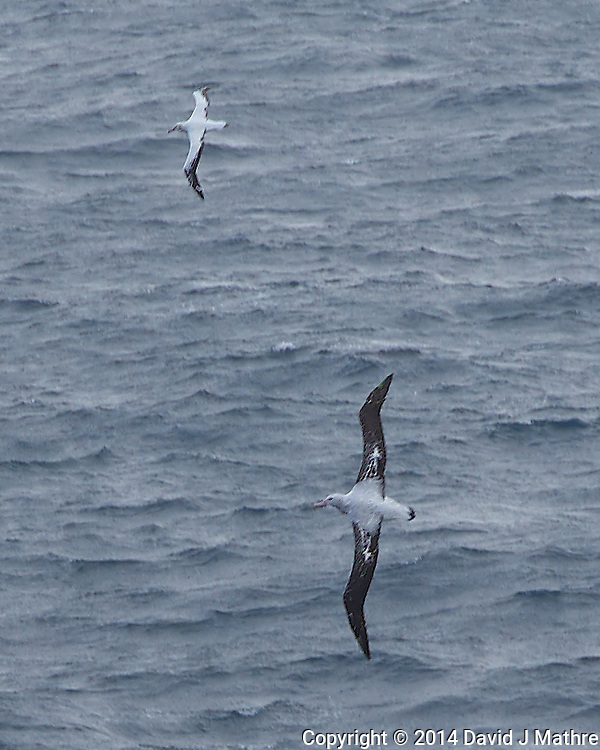Pair of Wandering Albatross Searching for Food in the South Atlantic Ocean from the Deck of the Hurtigurten MS Fram. Image taken with a Leica T camera and 18-56 mm lens (ISO 100, 56 mm, f/5.6, 1/400 sec). Raw image processed with Capture One Pro 8, Focus Magic, and Photoshop CC 2014.