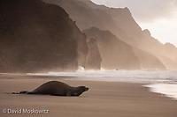 An endangered Hawaiian monk seal hauled out on a remote beach on Kauai's Napali coast.