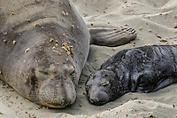 Northern Elephant Seals [Mirounga angustirostris] hauled out on the beach during birthing & breeding season; cow with pup;  Piedras Blancas, CA