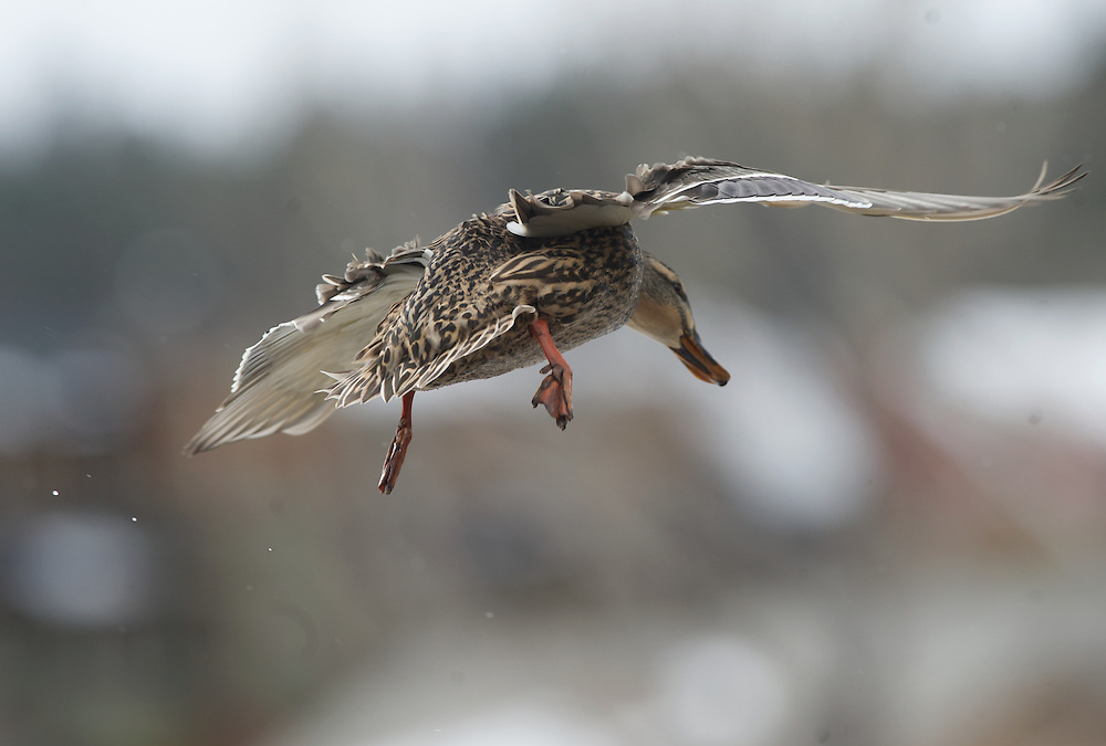 A hen mallard in flight