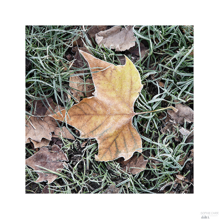 Frost on the leaves of fallen London Plane Trees on Eel Brook Common in Parsons Green