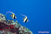 moorish idols, Zanclus cornutus, Lehua Rock, near Niihau, off Kauai, Hawaiian Islands, United States ( Central Pacific Ocean )