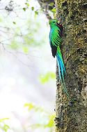 I stood in the rain watching this Resplendent Quetzal nest for two days in cloud forest on Cerro de la Muerte mountain. The male and female took turns searching for food and guarding the nest. By keeping my distance and shooting without a flash I was able to photograph these magnificent birds without disturbing their routine. The male in this image has brought a wild avocado fruit for his chicks.<br />