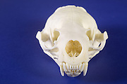 Skull of a River Otter, (Lontra canadensis).