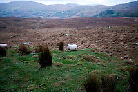 Sheep grazing near Killarney National Park, Ireland