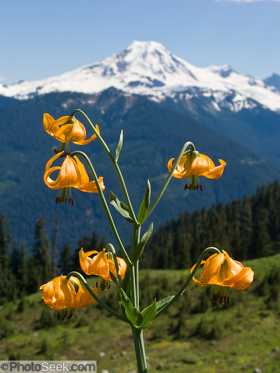 A Tiger Lily (or Columbia Lily, Lilium columbianum) blooms on Church Mountain across from Mount Baker, in Mount Baker-Snoqualmie National Forest, North Cascade mountain range, Washington, USA