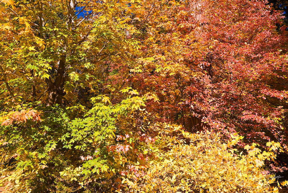 Fall color, Yosemite Valley, Yosemite National Park, California USA