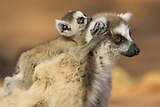 Ring-tailed Lemur<br /> Lemur catta<br /> 1-2 week old baby climbing on mother's head<br /> Berenty Private Reserve, Madagascar