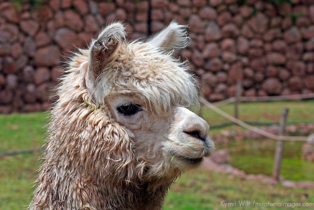 Americas, South America, Peru. Alpaca, bred for their fibrous hair used in weaving textiles, at Awana Kancha in the Urubamba Valley of Peru.