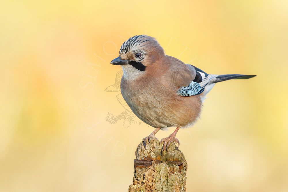 Eurasian Jay (Garrulus glandarius) adult, perched on post, South Norfolk, UK. November.