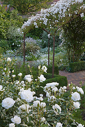 Rosa mulliganii growing over the pergola in the White Garden at Sissinghurst Castle. Rosa 'Iceberg' in the foreground